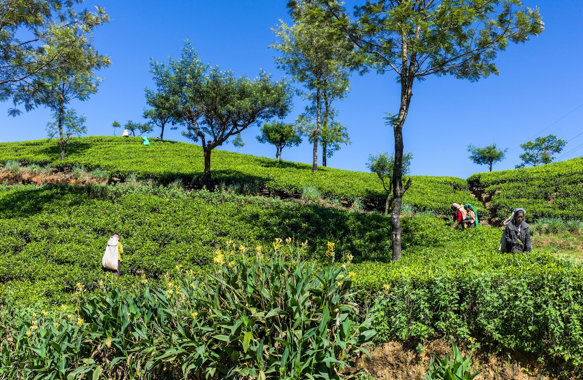 Sri Lanka, workers in fields of tea in the Ramboda Valley